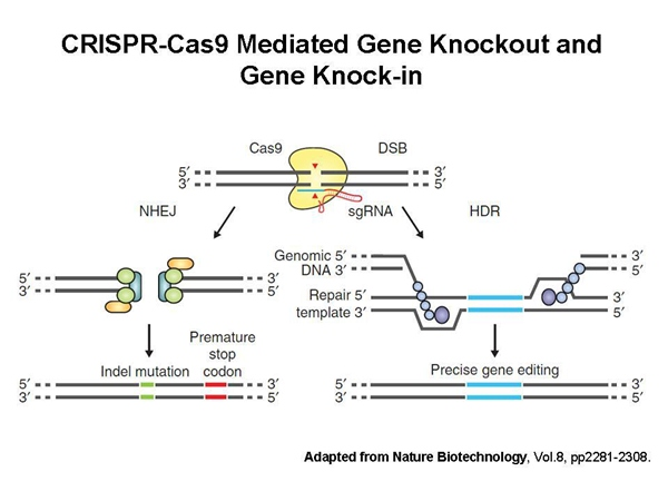 近年来发展的C RISPR-Cas9核酸酶技术(图1),为快速制备基因敲除小鼠开辟了新的技术途径。通过体外转录,获得编码Cas9酶与SgRNA,然后通过受精卵显微注射,获得基因敲除小鼠模型。我们可以根据客户的需求设计高效特异的Guide RNA序列。此外,我们可以通过设计基于Cas(D10A)突变体的双切口CRISPR-Cas9技术,有效地降低脱靶效应,最大程度地保证了基因敲除的准确性。