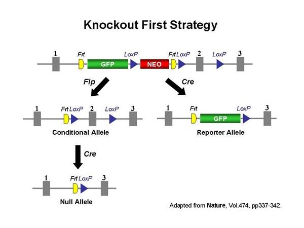 几个步骤:(a)基因打靶载体构建;(b)小鼠es细胞转染